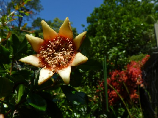 Pomegranate star and blue sky