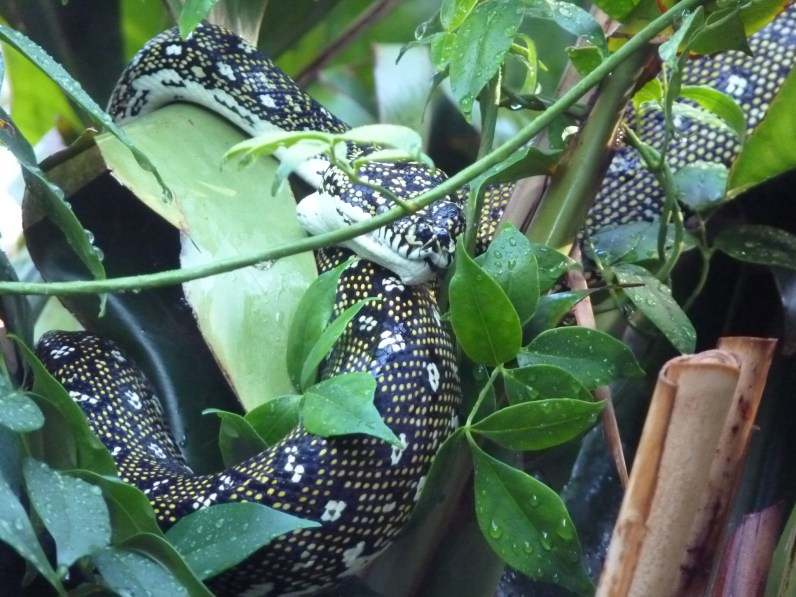 Snakey the diamond python wrapped in vines