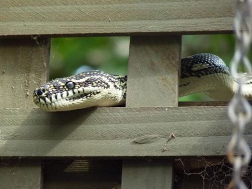 Diamond python in the kiwi arbor, 2012