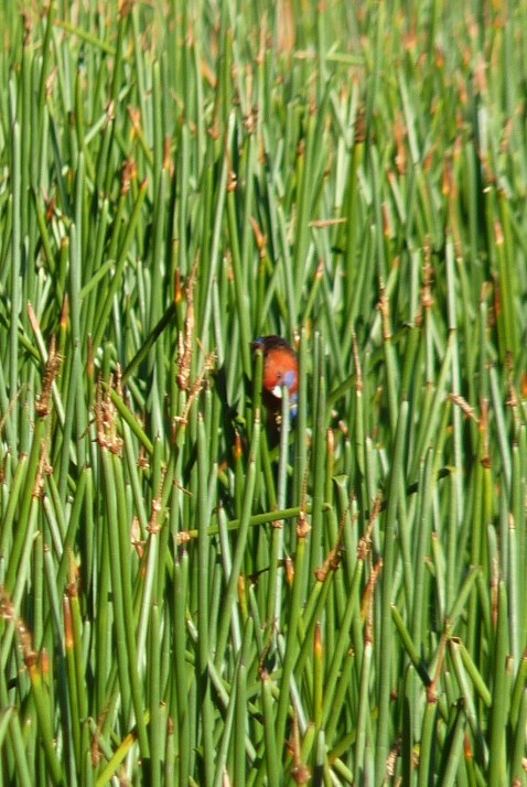 Crimson rosella doing unlikely things in the reeds