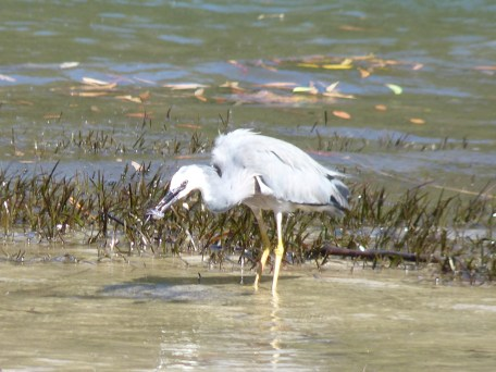 Heron eating a crab