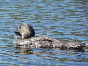 A musk duck. No, it doesn't have a goitre. It's meant to look that way.