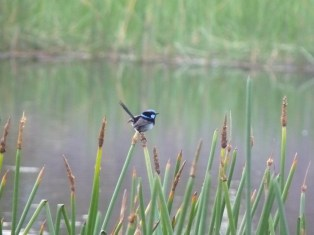 "The ""house bird"": a male superb blue wren"