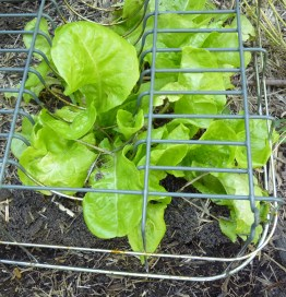 Incarcerated lettuce