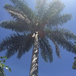 "Cocos palm in our yard - ""a telegraph tree"""