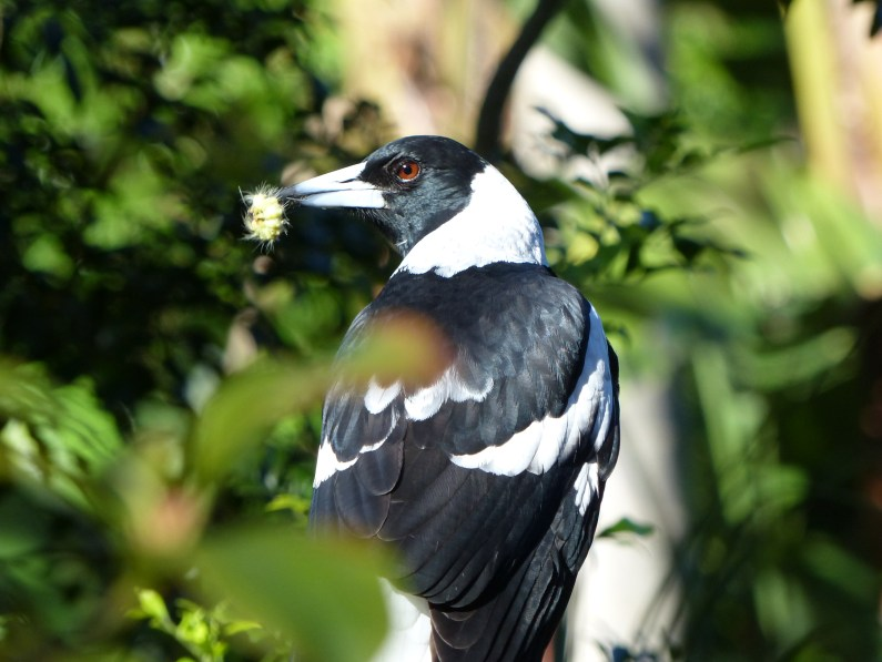 Australian magpie with hairy caterpillar