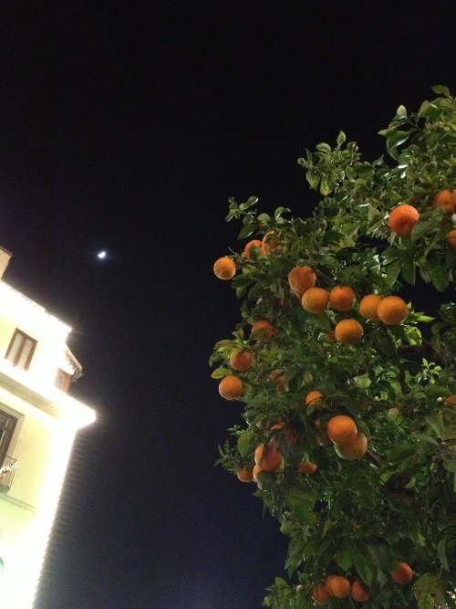 Standard oranges as street trees in Sorrento in midwinter