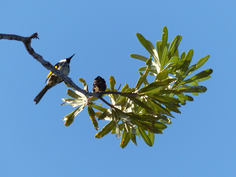 White cheeked honeyeaters - everywhere!