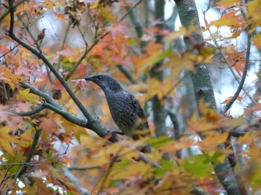 Little wattlebird doing something mysterious with a maple leaf