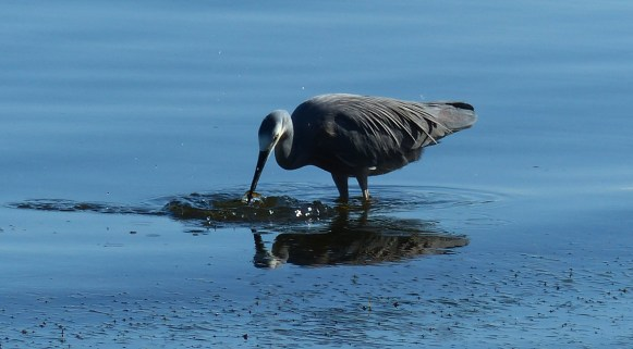White faced heron hunting shrimp
