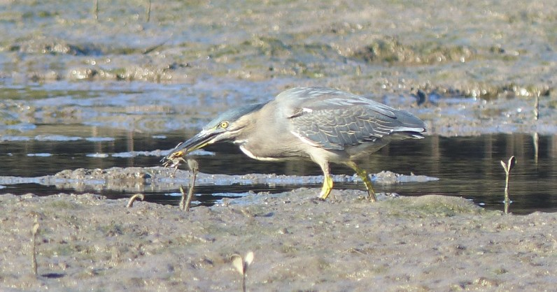 Striated heron moving out of the puddle to eat its crabby prey