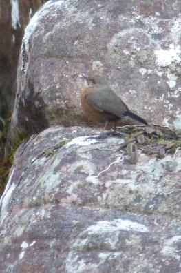 Rock warbler