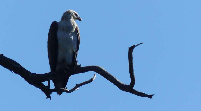 Sea eagle at Berowra Creek