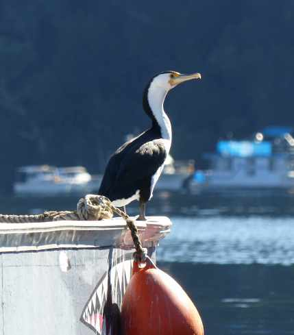 Pied cormorant about to be eaten by a shark