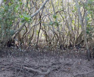 Grey mangroves again - or are they river mangroves
