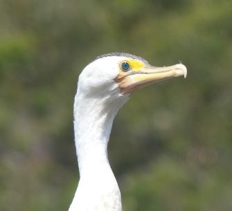 Inquisitive look from a little pied cormorant