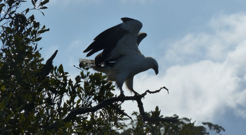 Sea eagle about to launch