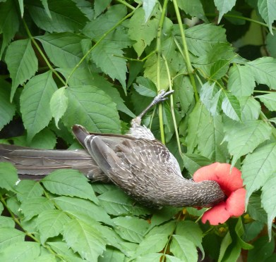 Little wattlebird lashing into the red trumpet flower