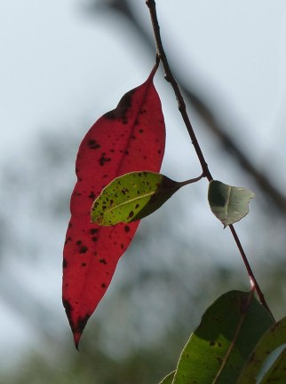 Red leaves crop