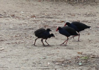 Swamp hen babies with food crop