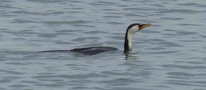 Cormorant diving crop for trim
