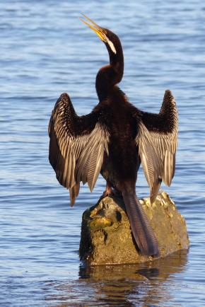 Male Australasian darter trying his wings by Lake Macquarie