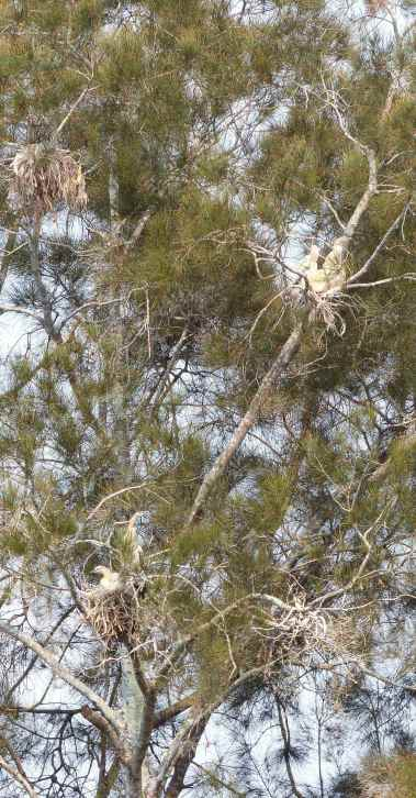 Casuarina with four waterbird nests