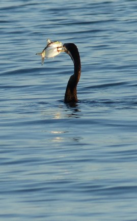 Male Australasian darter with a fish impaled on its beak