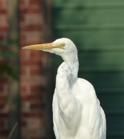 Greater egret in a suburban front yard by Dora Creek