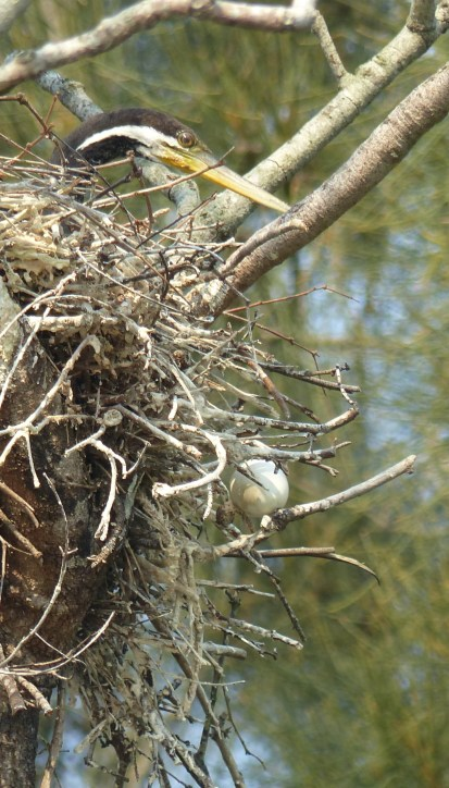 Male Australasian darter on the nest with a runaway egg