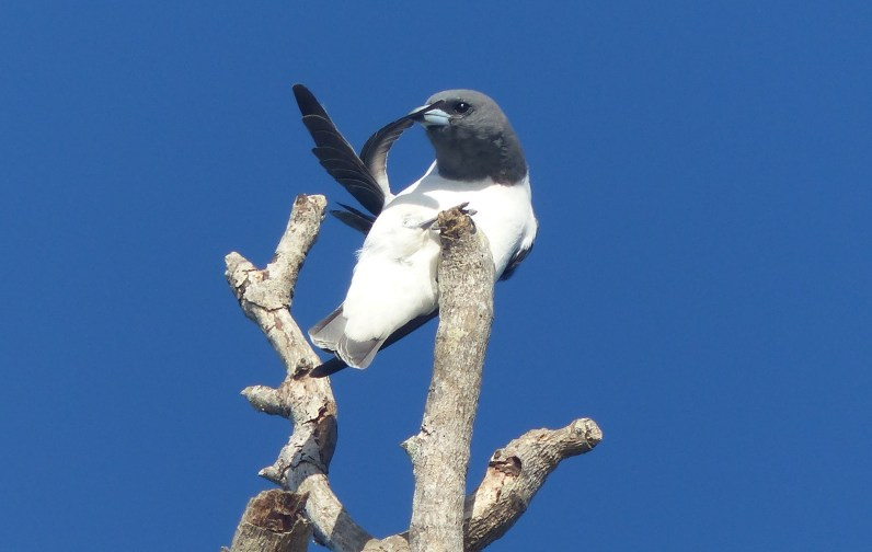 Woodswallow grooming