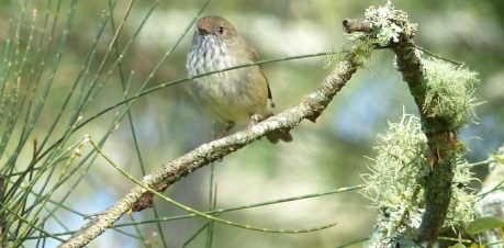 Brown thornbill vainly attempting to be a currawong