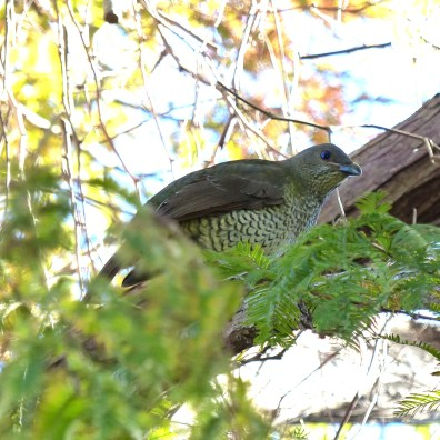 Female bowerbird in our dawn redwood