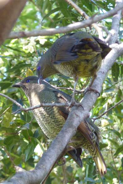 Two juvenile satin bowerbirds in the bottom of the garden jungle