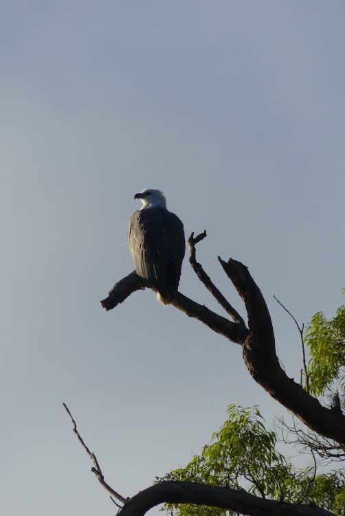 Sea-eagle basking in the morning sun