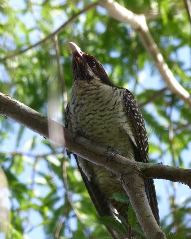 Female koel looking pensive