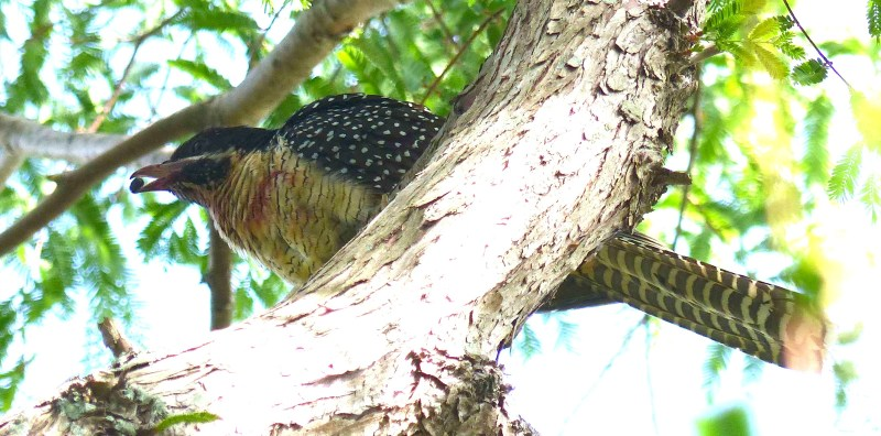 koel-eating-a-seed-crop-for-amend