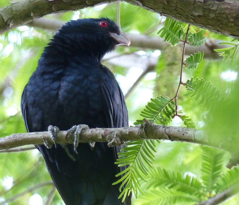 male-koel-neck-arched-square
