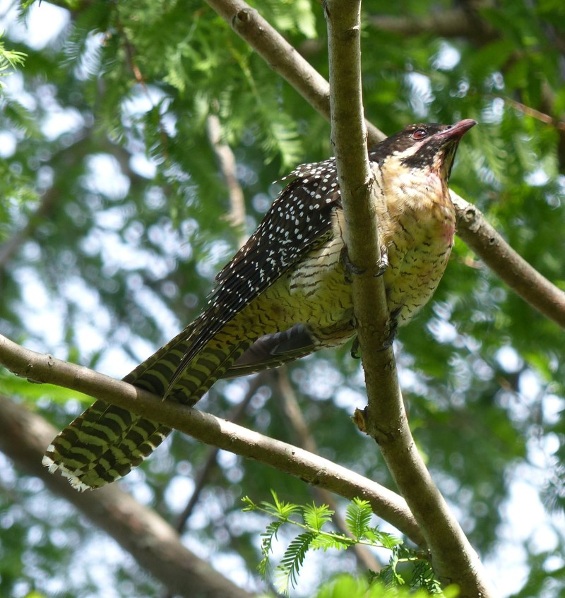 sideish-female-koel-with-good-view-of-stain-include-square