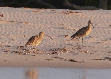 Two of many eastern curlews