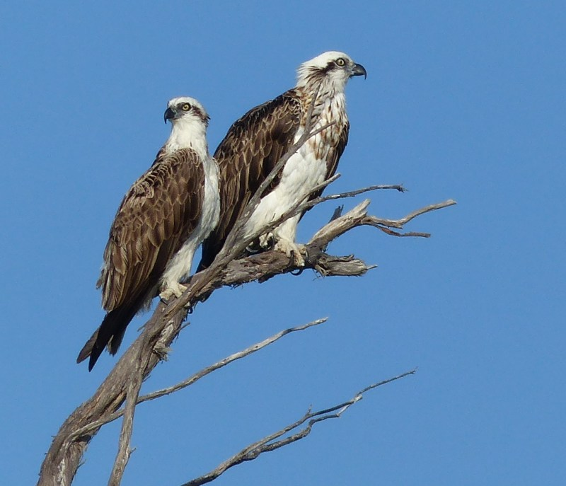 two-ospreys-2-square