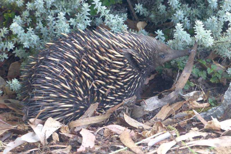 echidna-snuffling-really-better-amend-small