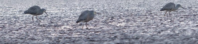 The ubiquitous white-faced heron. One of around 20 I saw hunting in the shallows later that morning.