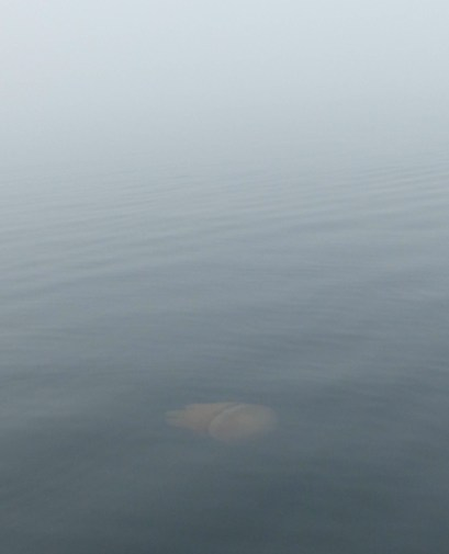 Jellyfish in the fog