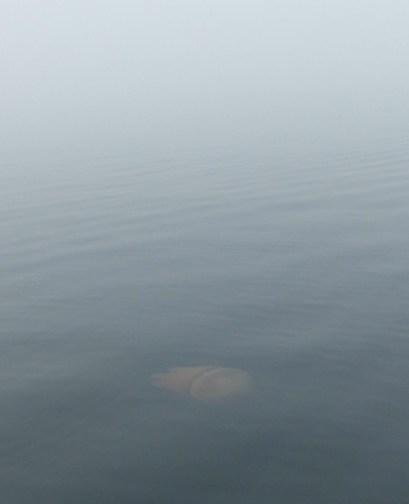 Jellyfish in the fog