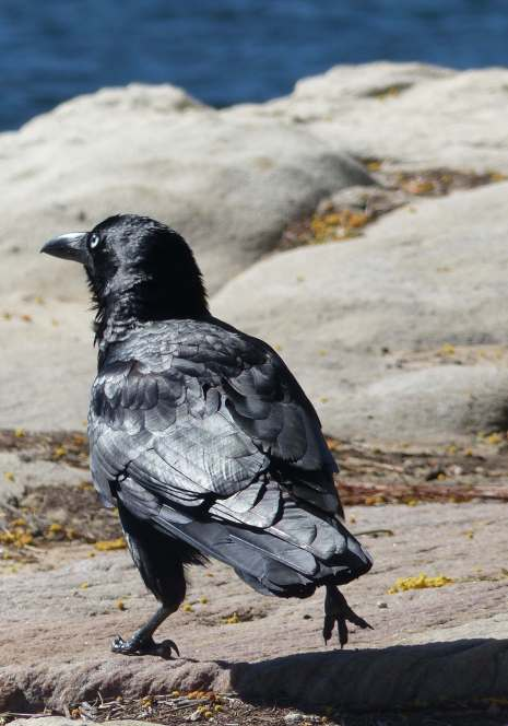 Australian raven at Appletree Bay