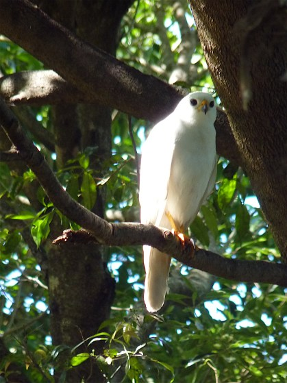 The divine and impossible to represent grey goshawk
