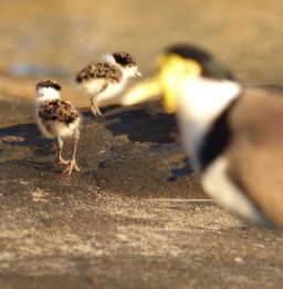 Plover chicks running awy parents framing square