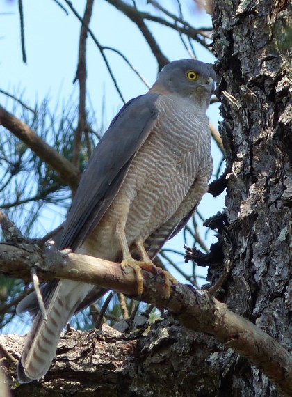 Accipiter not bothered by an audience