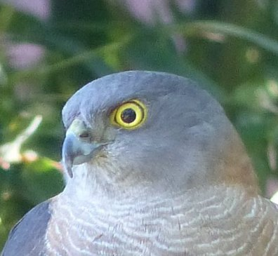 Sparrowhawk eye